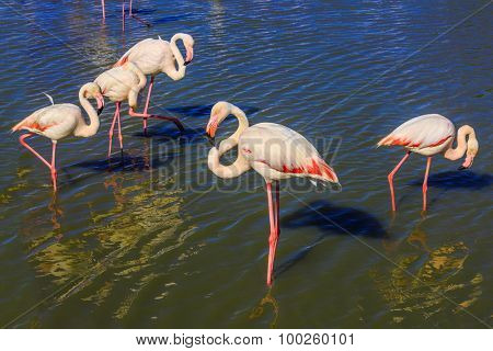 Sunset in national park of Kamargue.  Delta of Rhone, Provence, France. Pack of pink charming flamingos in the shallow lake