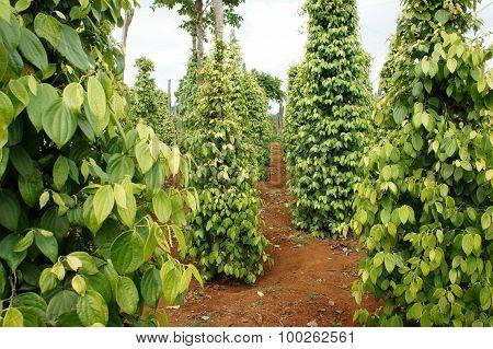 Pepper Field, Viet Nam, Farm Product