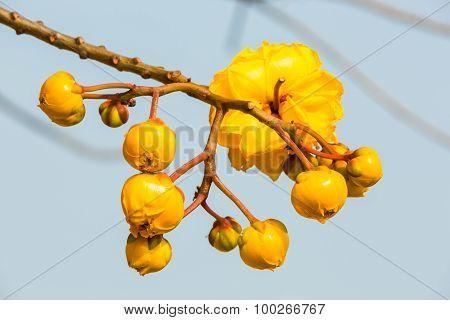 Silk Cotton Flower Buds