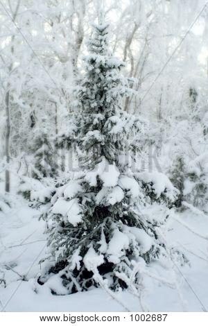 Fur-Tree Under Snow