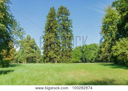 Two Spruces On Glade In The Park