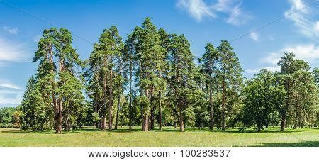Group Of Pines Among A Large Glade In The Park