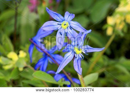 Nice wild flowers - scilla bifolia
