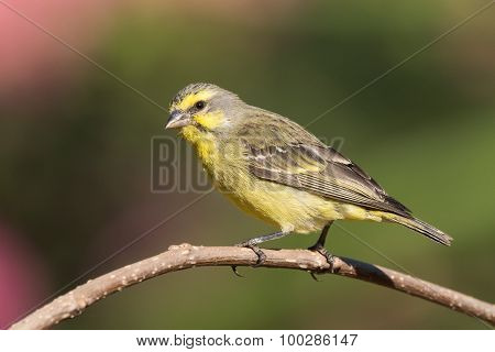 Yellow-fronted Canary (crithagra Mozambicus) Perched On A Branch