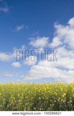 Canola field against blue sky