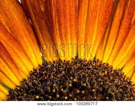 Closeup shot of beautiful sunflower