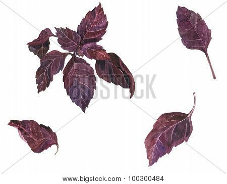 branche and leaves of basil