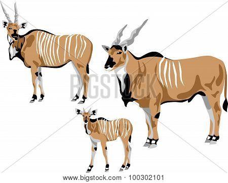 derby antelope