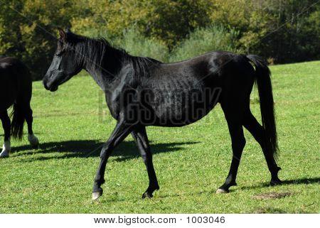 Schwarze Wildpferd In der Natur