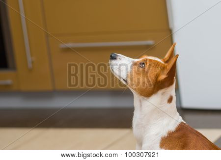 Basenji dog sitting in kitchen and waiting for the master charity