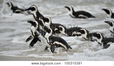 African Penguins Swimming In Ocean.