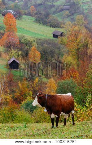 Mountain Village. Autumn landscape with brown cow on pasture