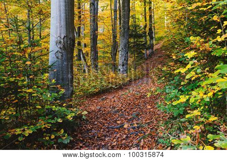 Path in the autumn forest. Beech trees in colored dresses