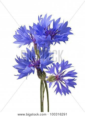 Big Bluet Cornflower Isolated On White Background