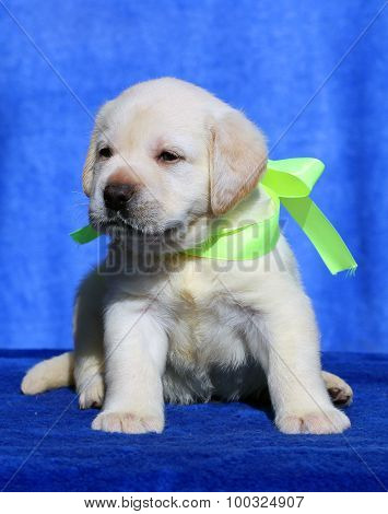 Nice Labrador Puppy On A Blue Background