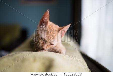 Little Kitten Licking