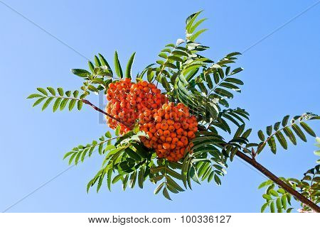 Rowan Berries On A Mountain Ash Or Rowan Tree.