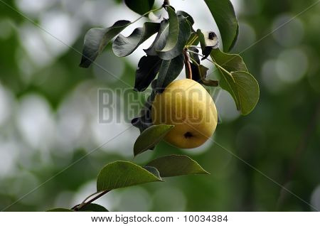 Juicy Pear