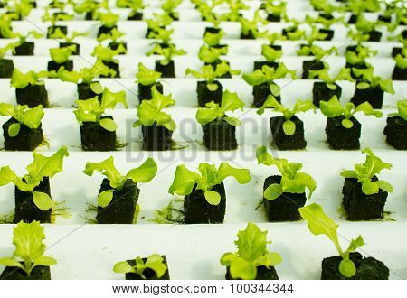 Baby Lettuce Plants On Hydroponic Culture