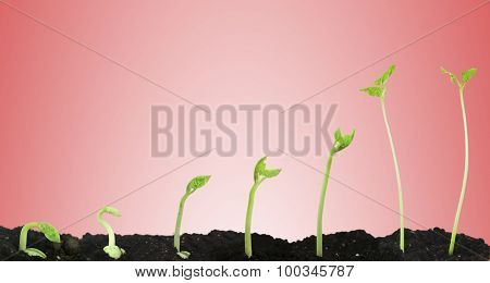 Bean seed germination different stages on pink background