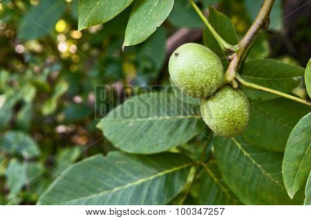 Branch Of Walnut In The Garden Close Up
