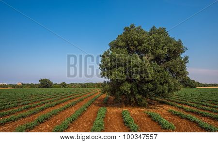 Old Olive Tree In A Field, Puglia, Italy