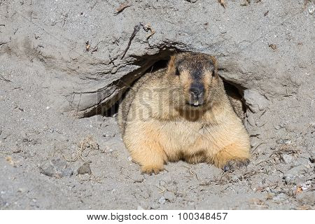 Funny Marmot Peeking Out Of A Burrow, India