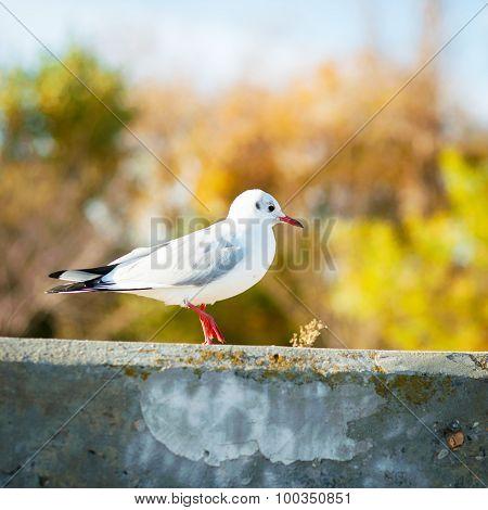 Sitting Gull