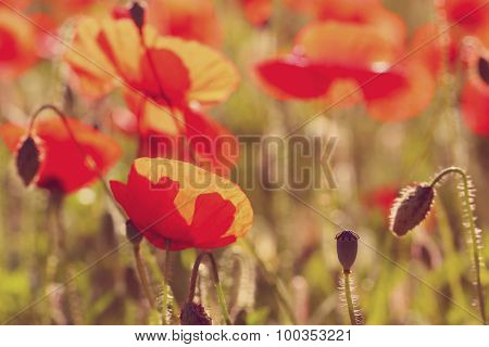 Meadow with beautiful bright red poppy  with sunlight