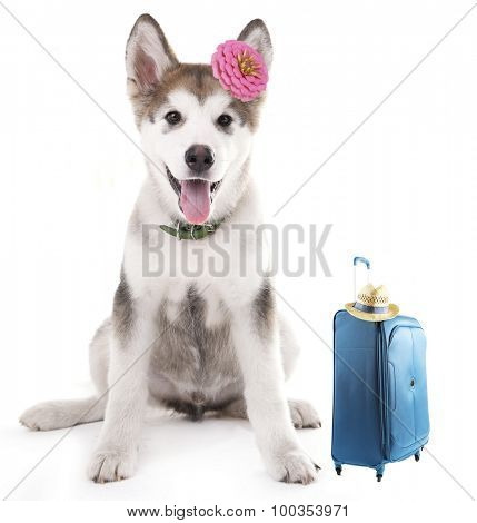 Funny dog tourist with suitcase, isolated on white