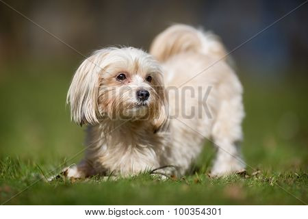 Bichon Havanais Dog Outdoors In Nature