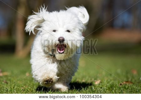 Coton De Tulear Dog Running Outdoors In Nature