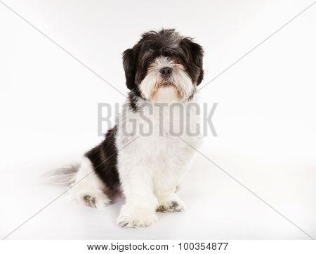 Purebred Shih Tzu Dog