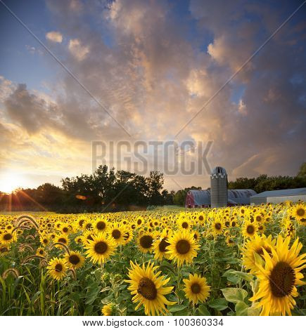 Sunflower Field And Barn Below Dramatic Sunset Sky