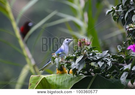 Blue-gray Tanager Sitting On Banana On Palm Leaf And Blurred Crimson-backed Tanager At The Backgroun