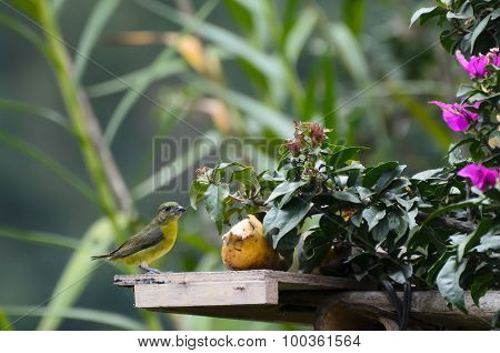Lemon-rumped Tanager Next To Banana In A Garden - Birds Of Colombia