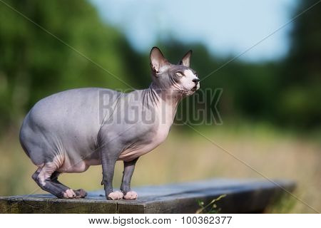 canadian sphynx cat outdoors