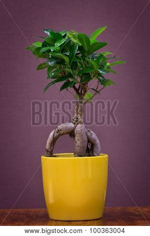 Ficus ginseng in a yellow pot over brown background