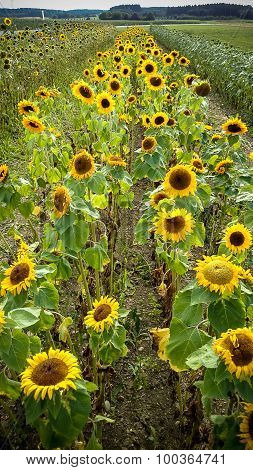 Field Of Blooming Sunflowers On Background Sunset