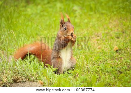 Squirrel Sitting On The Ground Eating A Nut