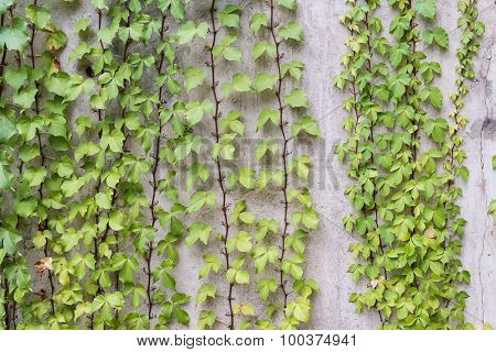 ivy leaves on wall