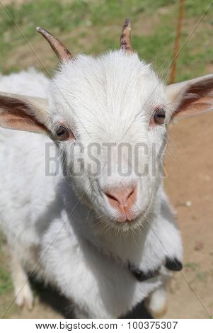 White goat on a background of green grass