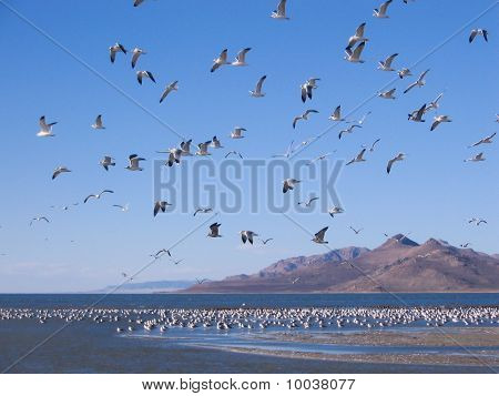 Swarm of seagulls