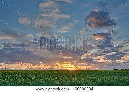 Canola Field Sunset