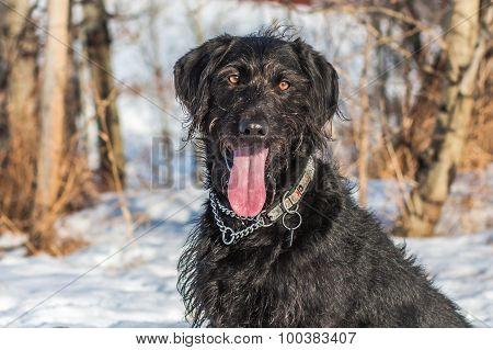 Labradoodle Portrait