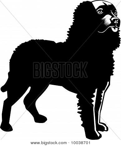 Black And White American Water Spaniel Dog