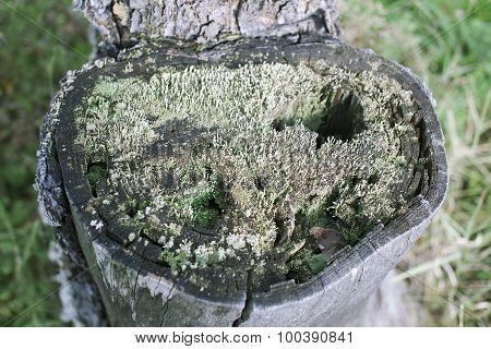 lichen in an old tree stump