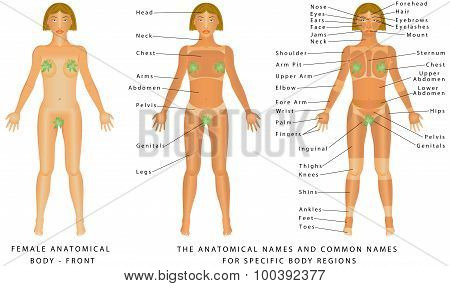 Female Body - Front