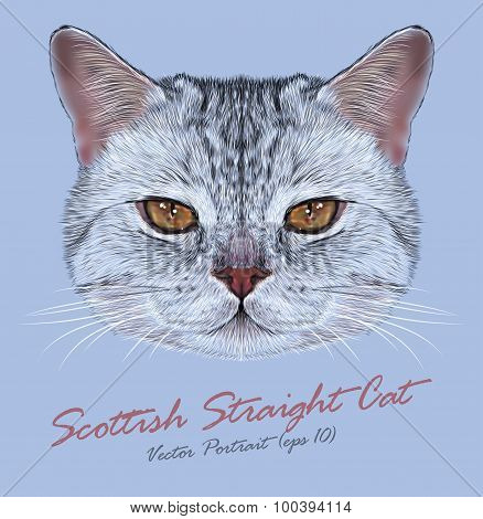 Vector Portrait of Scottish Straight Cat.