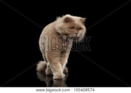 Walking Scottish Cat Curiosity Looking On Black Background